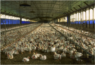 Large industrial scale indoor chicken farm