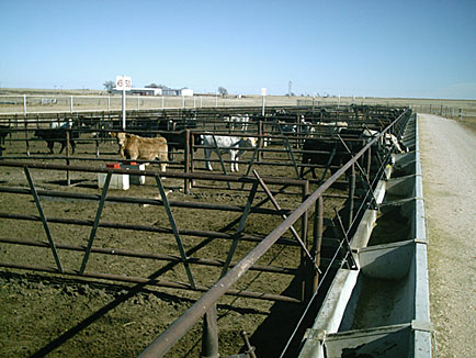 Calves in Multiple Pens