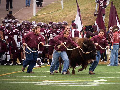 WTAMU Herdsmen Running the buffalo before the football team takes to the field.