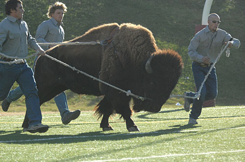 Live Buffalo running at Kimbrough Memorial Stadium