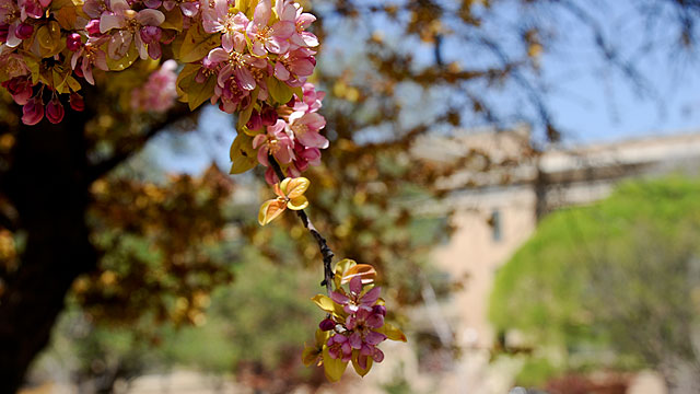 Tree Blossoming in front of Old Main
