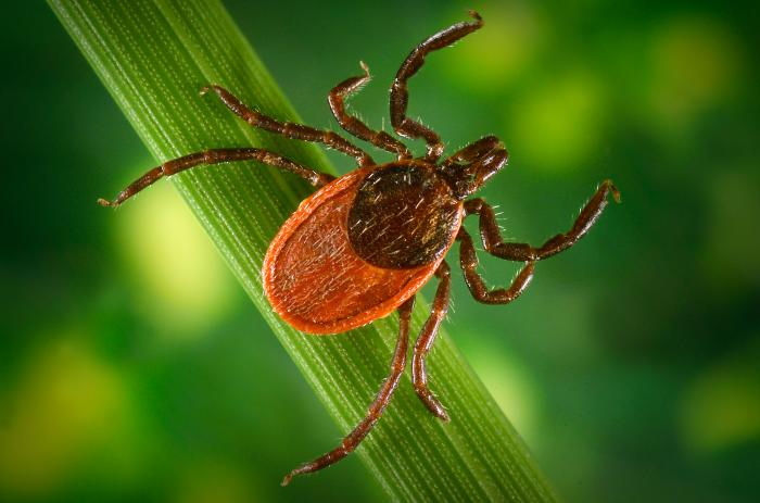 How can Lyme disease last for years? | Science Questions